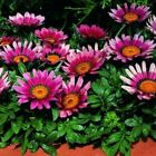 Outsidepride Gazania Kiss Rose Flower Seeds