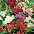 Outsidepride Impatiens Balsam Flower Seeds
