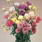Outsidepride Lisianthus Magic Mix Flower Seeds