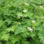 Outsidepride Chervil Herb Seed