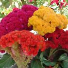 100Seeds/bag Celosia Flower Seeds Plant Seeds Seed Head Cockscomb Multiple Color
