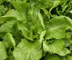 Endive, Broad leaf Batavian Fresh Hand-Packaged Seeds - NON -GMO