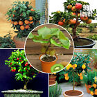 Bonsai Fruit Trees Orange Lemon Kiwi Apple Cherry Mint Peppermint Seeds