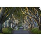 Wall Decal entitled Beech tree-lined road, County Antrim, Northern Ireland, UK