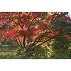 Wall Decal entitled Japanese Maple tree