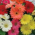 Outsidepride Gerbera Mix Flower Seeds