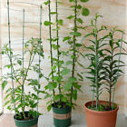 Garden Plant Support Climbing Plants 45/60cm Conical Trellis Supporter Frame US