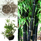 Black Bamboo Seeds. Phyllostachys Nigra. Choice Of Quantity