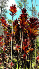 Varied Lot of 5/10/20/50 Red Ti Plant Cordyline Terminclis Cuttings Logs