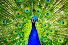 Home art wall Decor Feng Shui Peacock Animals Oil painting Printed on canvas 197