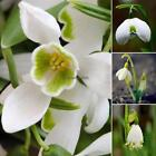 New Adorable Flower Fragrant Seeds Blooms Lily of the Valley Seeds CLSV