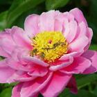 10Pcs Home Gardening Ornamental Plants Potted Colorful Peony Flower OO55
