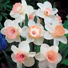 100Pcs Narcissus Flower Daffodil Seeds Bonsai Plants Double Petals Absorption
