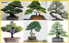 50 Pcs seed Juniper bonsai tree flowers office purify air decor plants Indoor
