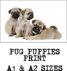 Pug Puppies - A1 or A2 Satin Photo Print - Suitable For Framing