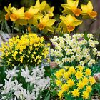 "Daffodil bulbs ""Narcissi"" Dwarf Spring Flowering Narcissus Bulbs Ready To Plant"