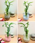 1 Pot of Lucky Bamboo in Colourful Glass Vase House Plant Feng Shui Office Decor