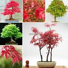 New Rare Maple Plants Seeds Multi-Colors Red Green Dwarf Plants Trees Home Decor