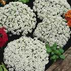 ALYSSUM SNOW CRYSTALS FLOWER GARDEN SEEDS - MULTI SEED PELLETS - ANNUAL