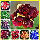 100Pcs Colorful Dragon Tiger Rose Flower Seeds Home Garden  Multi-Color Mix NEW