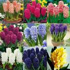50/100PCS Colorful Hyacinth Flower Seeds Bulb Plants Seed Home Garden BE0R 01