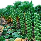 Brussel Sprouts - Long Island Improved Heirloom Vegetable Seeds select QTY