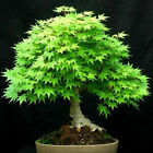 Plant Pomegranate DIY Seeds Potted Pine Garden Maple Spruce Seed Bonsai Tree Red