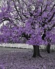 Black White Purple Wall Art/ Tree Landscape/ Bedroom Decor Picture