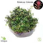 Live Aquarium Plants In Vitro - Aquatic Tropical Fish Aquascaping Carpet InVitro