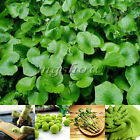 120/240Pcs Wasabi Seeds Japanese Horseradish Seed Vegetable Rare horseradish New