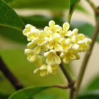 Ambrosial Osmanthus Essential Oil Osmanthus fragrans Natural India Free Shipping