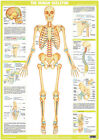 Human Skeleton Chart, Human Body, Joint Anatomy, Medical Poster