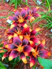 RARE Orange Lily Flower Bulbs (Not Lily Seeds) 4 -12 Bulbs, Garden Plants
