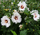 White or purple Hardy Hibiscus syriacus rose of sharon rooted live starterplant