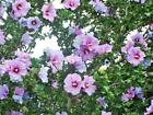 2 White or purple Hardy Hibiscus syriacus Live Plant rooted cutting