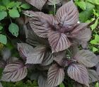 Shiso Seeds, Perilla, Purple, Japanese Basil, Red Mint, NON-GMO, Variety Sizes