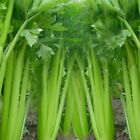 Celery Seeds, Tall Utah 52/70 , NON-GMO, Heirloom, Variety Sizes, FREE SHIPPING