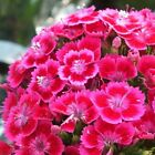 Perennial 30 Pcs Dianthus Seeds,Sweet William flower easy to grow DIY garen