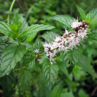 Spearmint Herb Seeds, Mentha spicata, NON-GMO, Variety Sizes, FREE SHIPPING