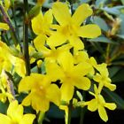 2 Yellow Flowers Winter Jasmine (Jasminum nudiflorum) Rooted cutting Live Plant