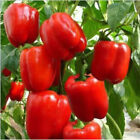 Big Red Sweet Bell Pepper, NON-GMO, Heirloom, Variety Sizes, FREE SHIPPING