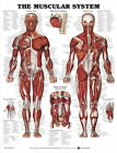 61143 THE MUSCULAR SYSTEM Wall Print Poster UK