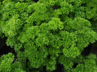 Parsley, Triple Moss Curled, NON-GMO, Variety Sizes, Garnish, FREE SHIPPING