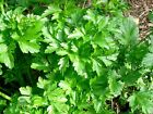 Parsley, Italian Giant, NON-GMO, Heirloom, Variety Sizes, Bulk, FREE SHIPPING