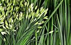 Garlic Chive Seeds, Herb, Allium Tuberosum, Heirloom, NON-GMO, , FREE SHIPPING