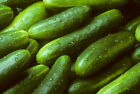 Garden Sweet Cucumber Seeds, BURPLESS, Organic, NON-GMO, Variety Sizes