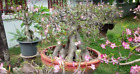 adenium obesum  RARE ! ROOTED  BONSAI FAT Caudex desert rose ! wow !