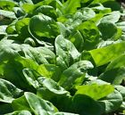 Spinach, Viroflay, NON-GMO, Heirloom, Variety Sizes, FREE SHIPPING