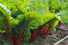 Ruby Red Swiss Chard Seeds, NON-GMO, Salad Greens, Colorful Heirloom, FREE SHIP