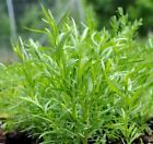 Russian Tarragon Herb Seeds, NON-GMO, Dragon Wort, Variety Sizes, FREE SHIPPING